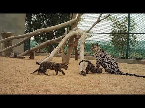 ولادة صغيرَين من النمر العربي في المملكة العربية السعودية