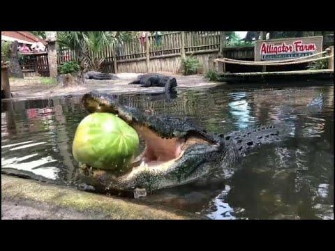 القوة الساحقة لفكي تمساح وهو يقضم بطيخة