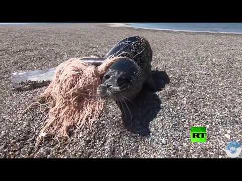 لحظة إنقاذ كلب البحر القزويني من شباك الصيادين