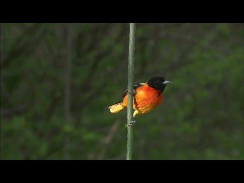 نفوق واختفاء مليارات من الطيور في كندا و أميركا خلال الـ 50 سنة الماضية