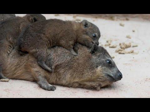 حديقة حيوانات إنجليزية تُرحب بثلاثة وافدين جدد من حيوان الوبر الصخري