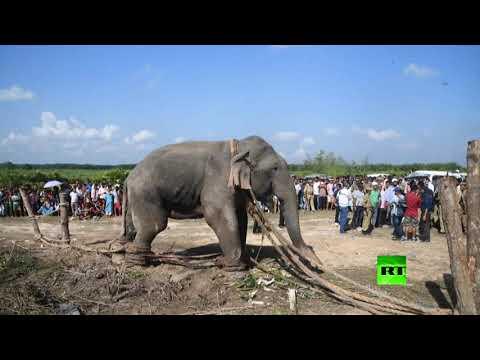 القبض على الفيل بن لادن بعد قتله 5 أشخاص في الهند
