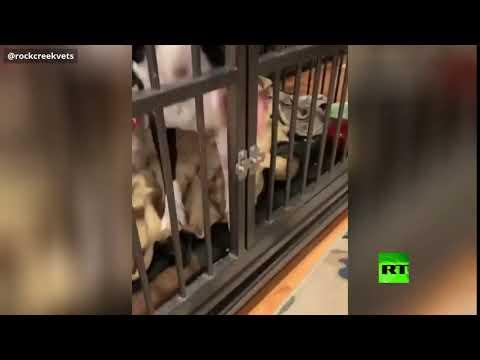 شاهد كلب ذكي يستخدم لسانه للهروب من قفصه في كولورادو الأميركية