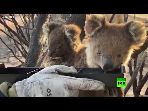 شاهد رجال إطفاء أستراليون يروون عطش كوالا وصغيرها