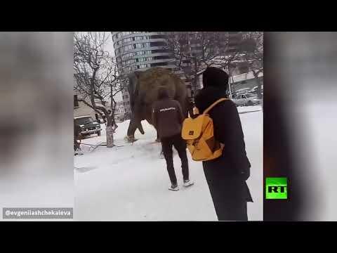 شاهد فرار فيلين من سيرك مدينة يكاترينبورغ الروسية