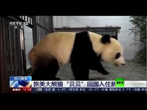 وصول الباندا العملاقة بي بي إلى جمهورية الصين
