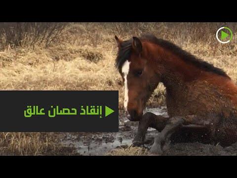 إنقاذ حصان من مستنقع طيني في كندا