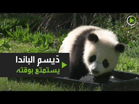 دّيسم الباندا يستمتع بوقته رغم غياب الزوّار