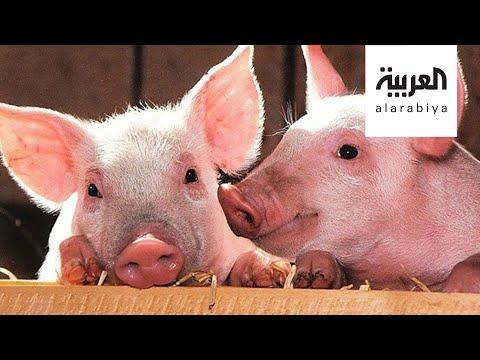 شاهد جي 4 نوع جديد من إنفلونزا الخنازير في الصين
