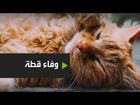 شاهد قطة تزور قبر صاحبها كل يوم منذ وفاته قبل عامين