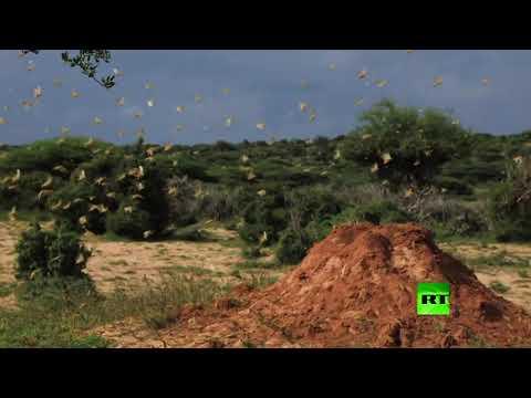 شاهد أسراب الجراد تغزو ضواحي العاصمة الصومالية مقديشو
