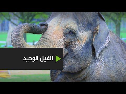 شاهد حفلة وداع للفيل كافان بعد 8 أعوام قضاها وحيدًا في حديقة حيوانات باكستانية